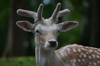 a horned deer with spots