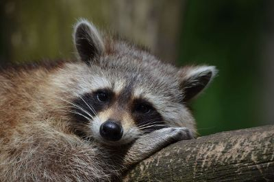 raccoon resting on limb