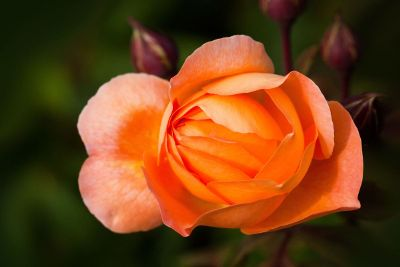orange rose blossoming