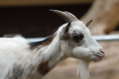 old billy goat