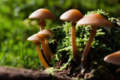 brown mushrooms in the forest