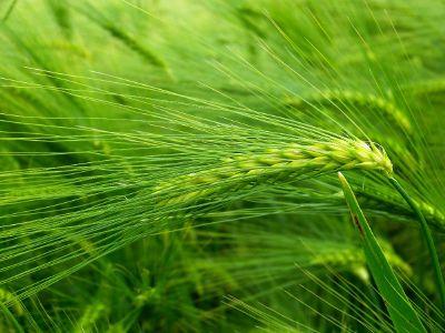 green wheat in a field