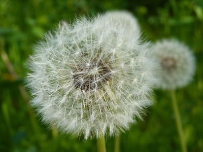 dandelion in seed stage