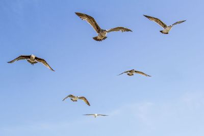 seagulls flying in the blue sky