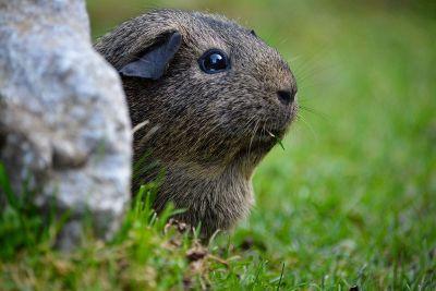 guinea pig outside