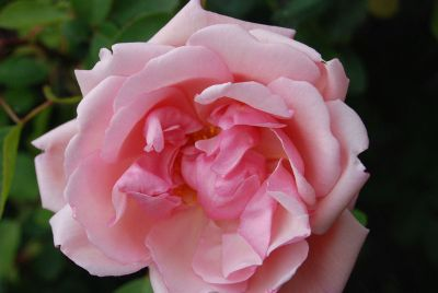 close up pink rose