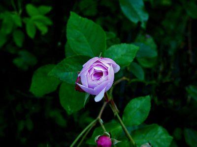 blooming pink rosebud
