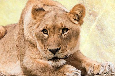 lioness on a savannah