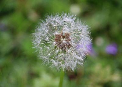 wishing dandelions