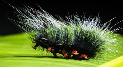 hairy black caterpillar on green leaf