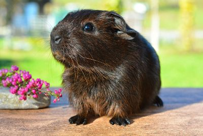 brown ginuea pig