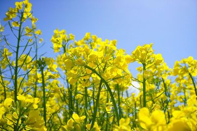 yelllow field of flowers