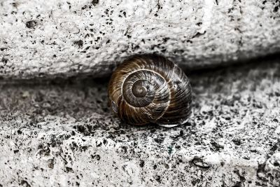 a brown snail resting by rocks