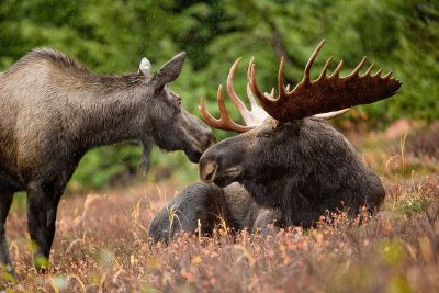 two moose in the grass