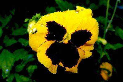 petunia closeup