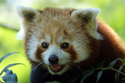 red panda in leaves