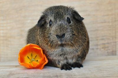 brown guinea pig with a flower