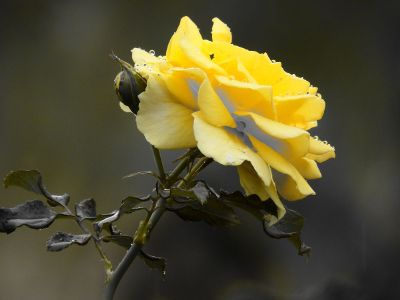 close up yellow rose side view