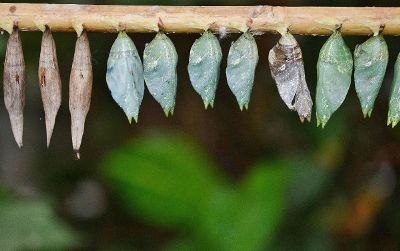 cocoons on a tree branch