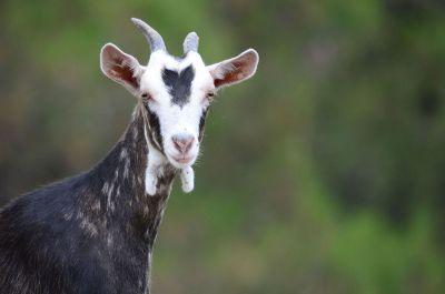 pretty goat in field