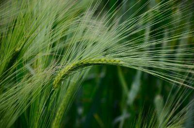 grass frond