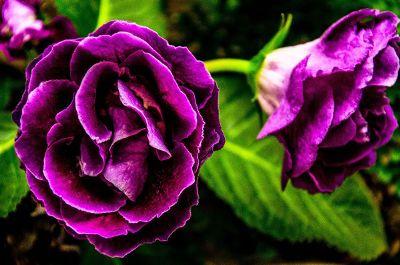 two purple flowers