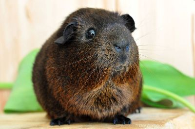 guinea pig close up