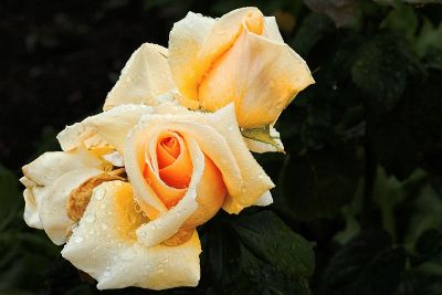 dewy yellow flowers