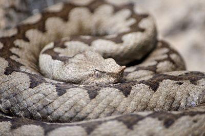 snake in a coil