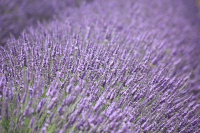 lavender field smelling good