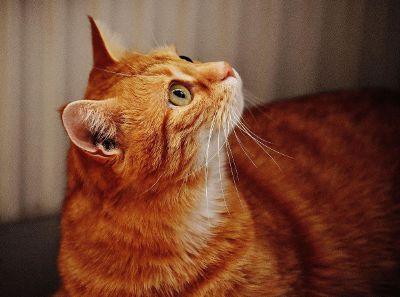 orange cat looking up