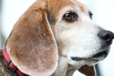 beagle with a red collar