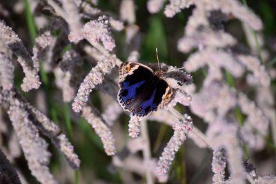 royal beautiful blue butterfly