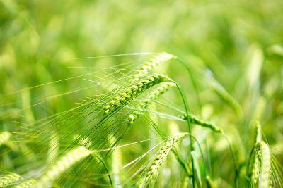 green wheat growing in a summer field