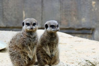 meerkats on a rock