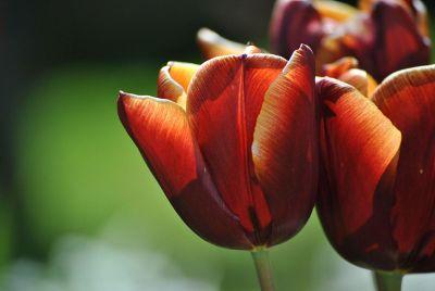 orange tulips with green background