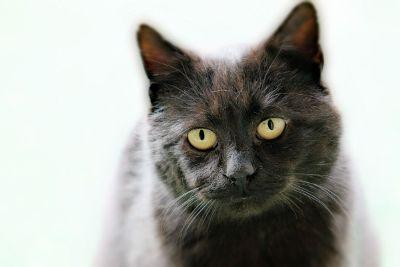 dark haired cat