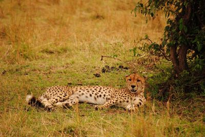 cheetah lying in shady grass
