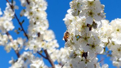 honeybee in blossom of tree