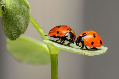 two ladybugs meet