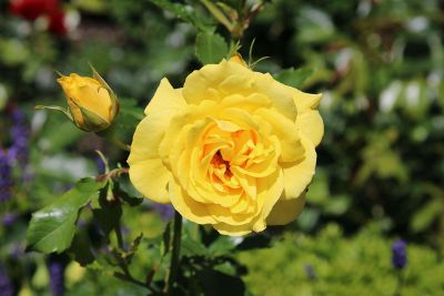 fully opened yellow rose