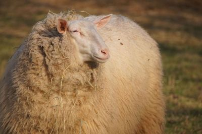 sheep looking into distance