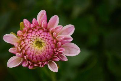 pink flower on dark green background