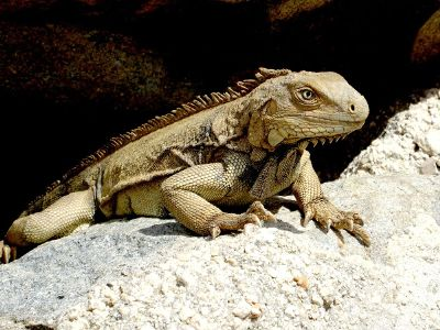 a large tan lizard resting on a rock