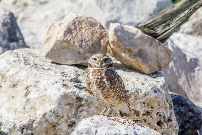 owl on rocks
