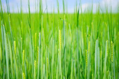 long green grass in water