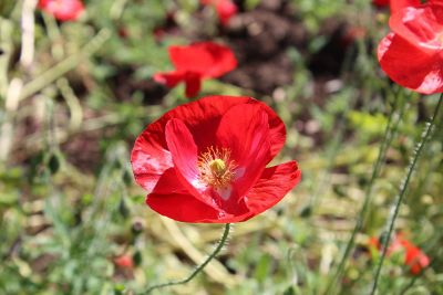 red poppies in bloom