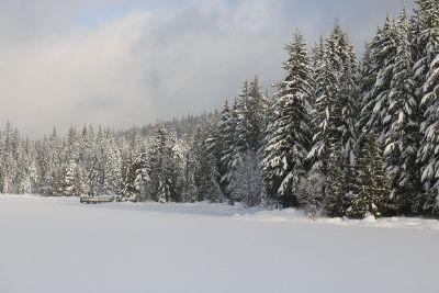 alpine winter trees