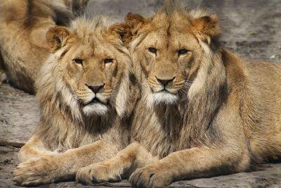 3 lions looks like twins