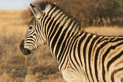 zebra in the wild